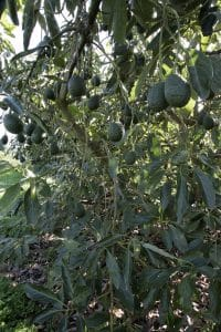 GC/MS testing is being used to help protect avocado trees